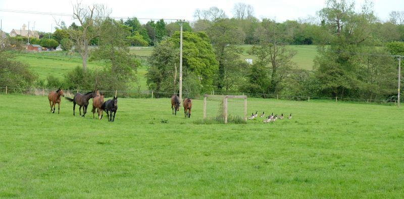 Some geese have joined the mares on their holidays