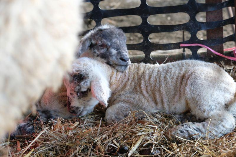 The first lambs were born yesterday..