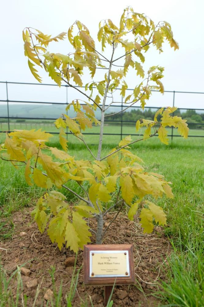 Special tree.. acorn to sapling.. Mark Vestey grew this Dresden Oak..Now planted on Thorndale drive.