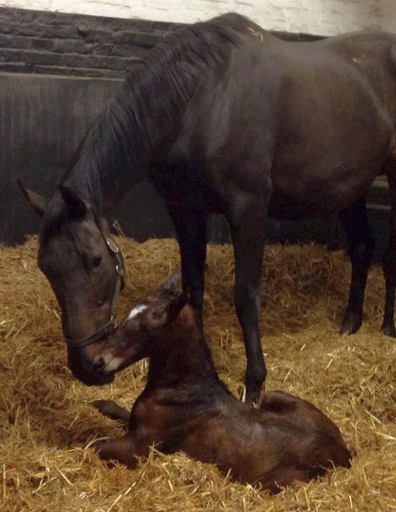 Amazing D'Azy with her filly Kayf Tara foal.. born at 2am yesterday