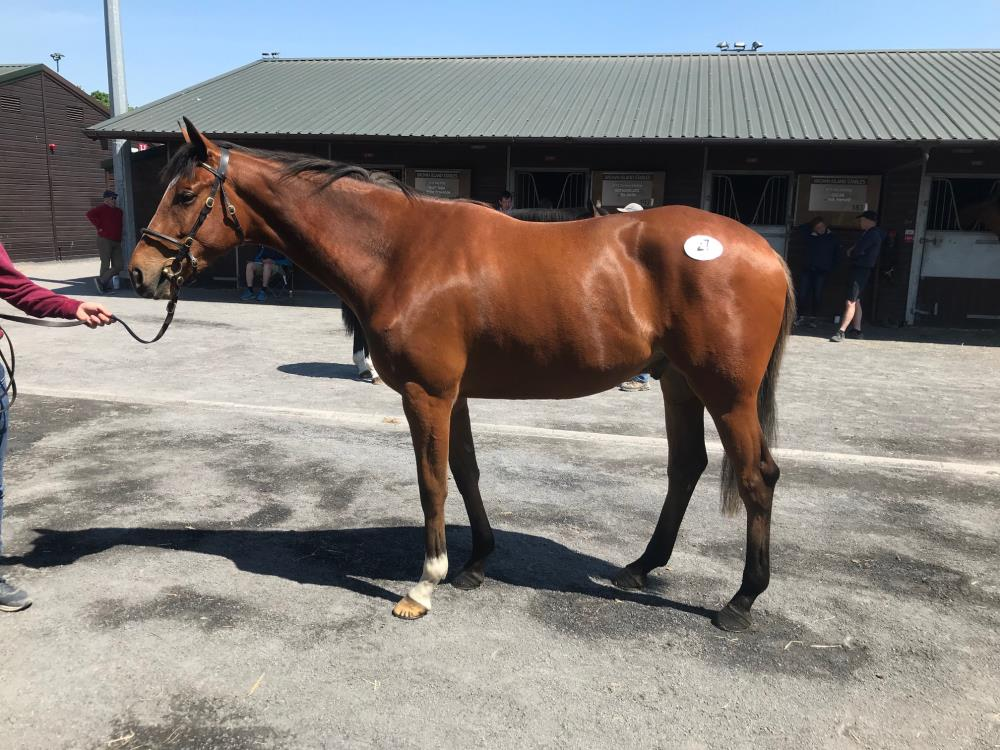 Lot 27 - Jeremy (USA) x Luca Lite (IRE) Half brother to Those Tiger Feet