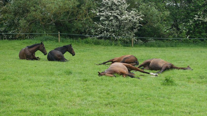 The mares love lying down
