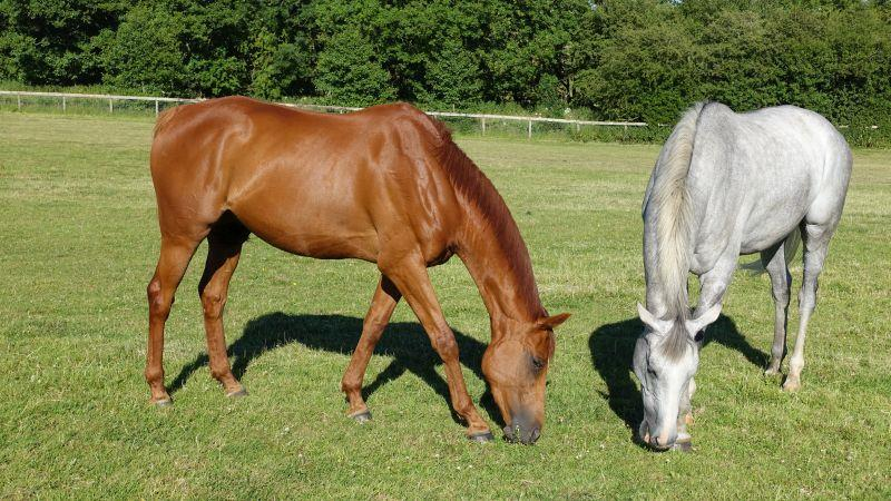 Another Venture and Silver Kayf munching away..