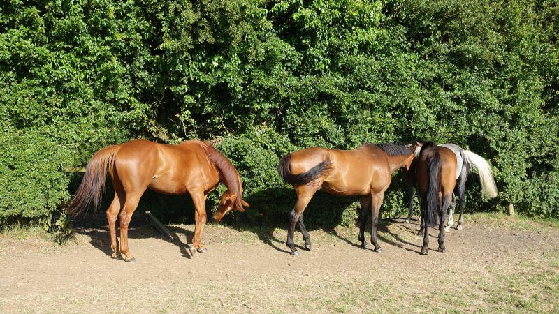 Hiding under the trees to escape the flies