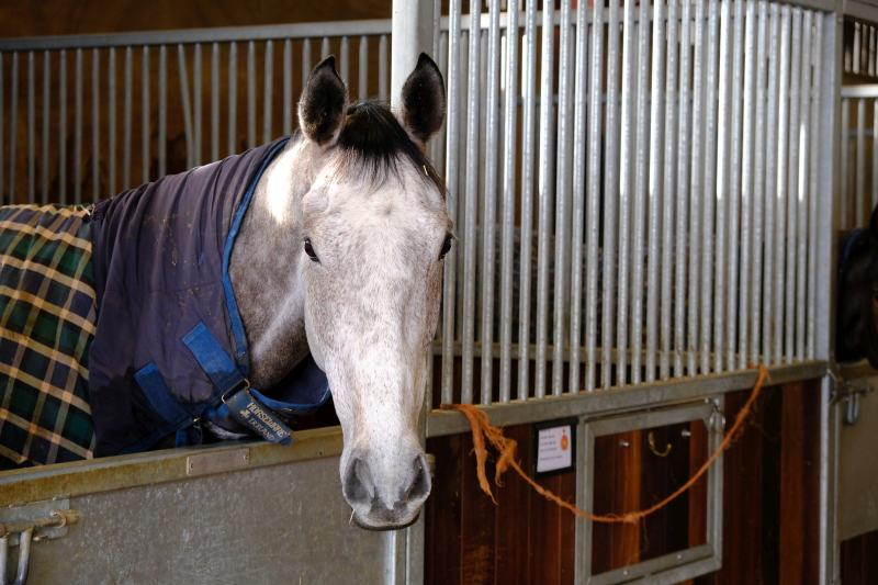 Dual Haydock Bumper winner Mr Grey Sky looking out of his box..