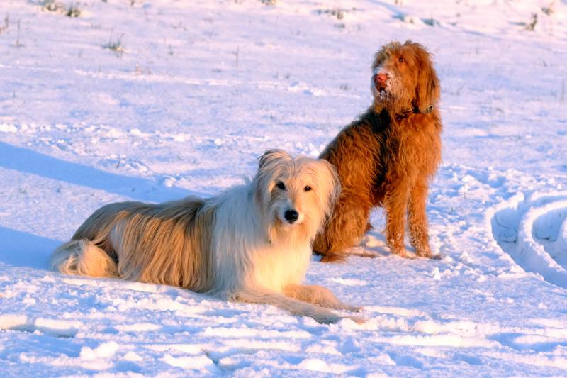 Dogs looking relaxed in the snow