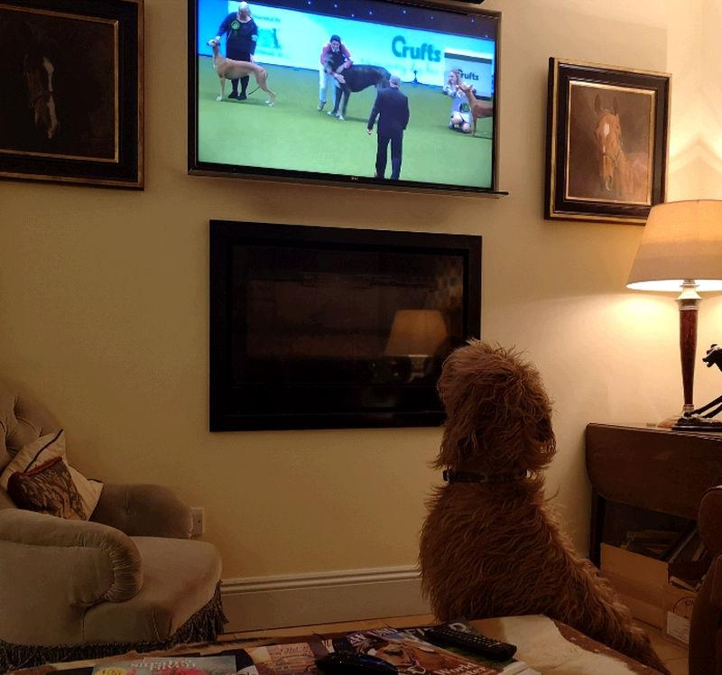 Dougie watching Crufts!