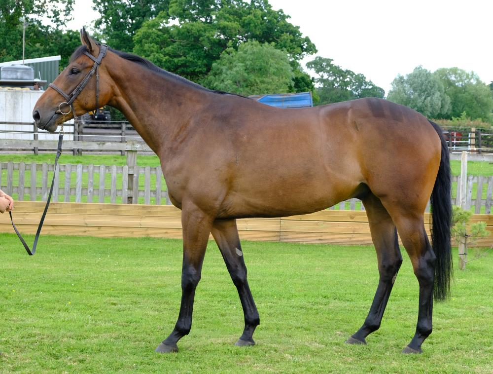 3 year old gelding by Yeats x Gold Strike.. For sale