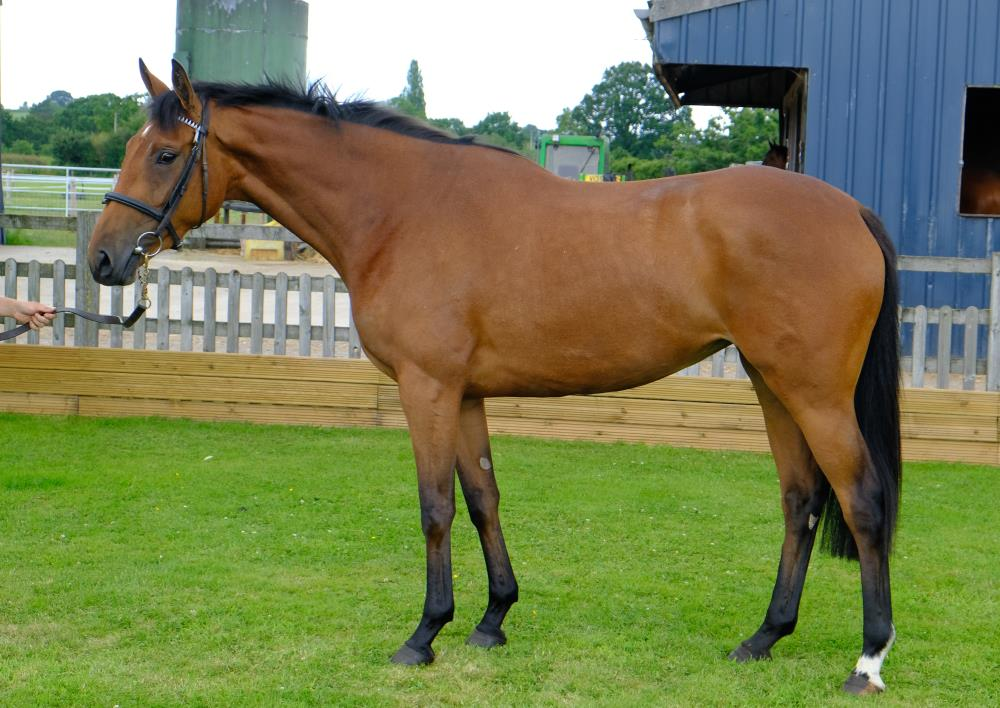 3 year old filly by Flemensfirth x Another Gaye.. For Sale