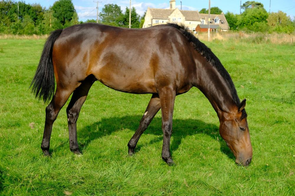 Guerlain Bellevue (FR). A 3 year old gelding by Diamond Boy x Venise Bellevue (FR).. For sale