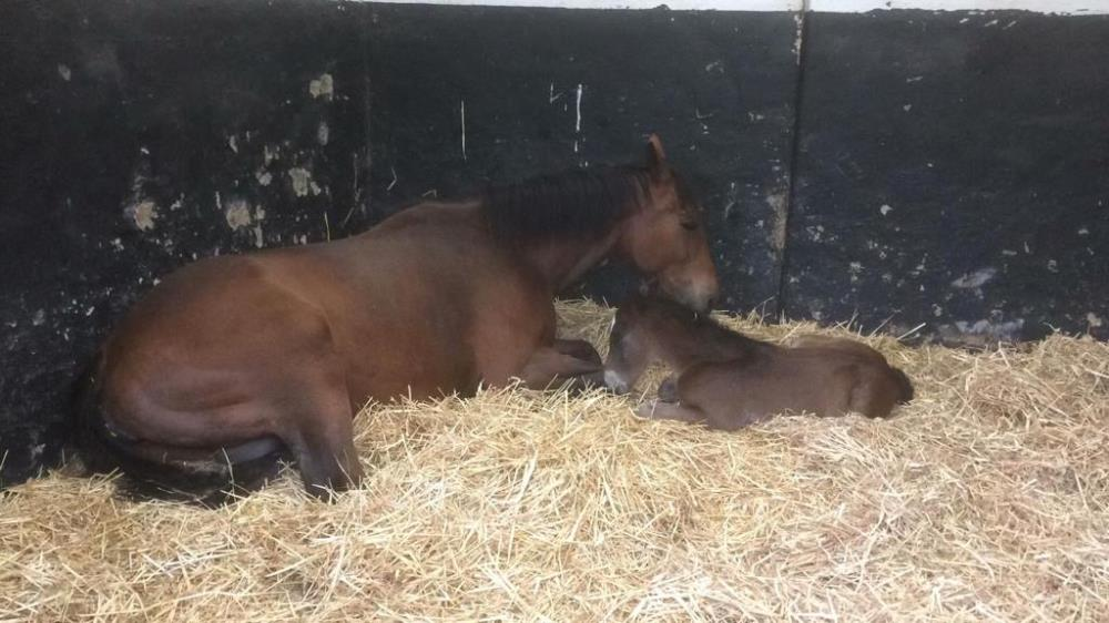 Julie and David Martin's mare Bonne Fee and her filly foal by Schiaparelli