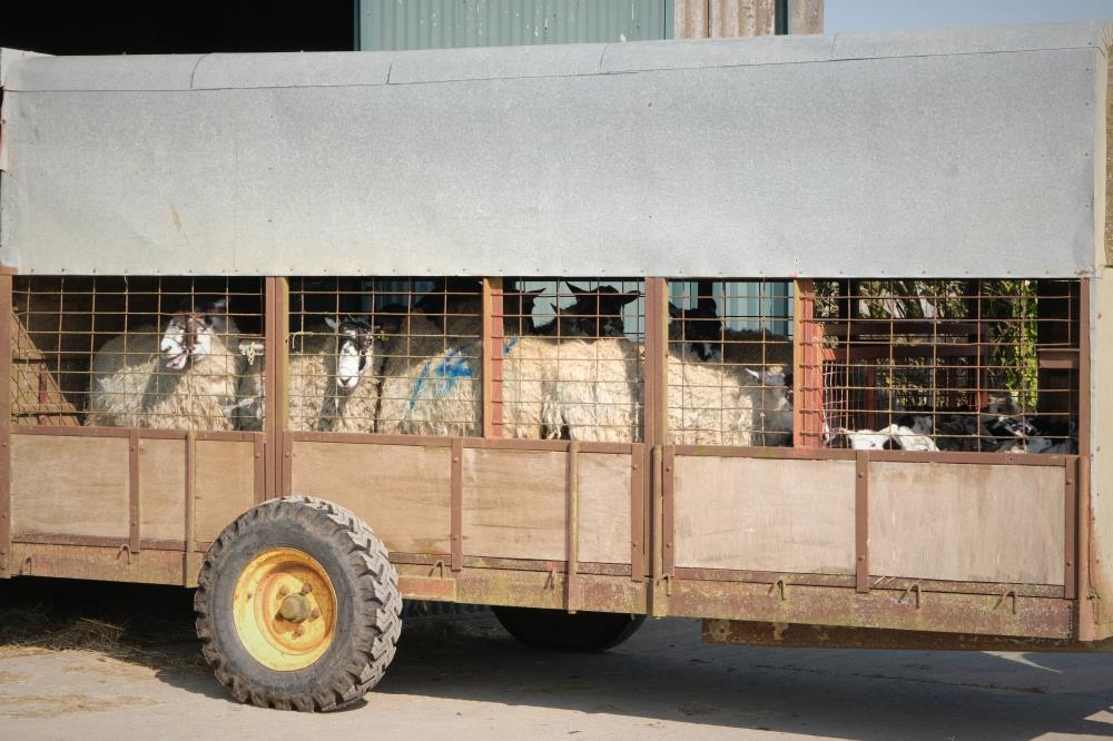 Sheep transport to the fields