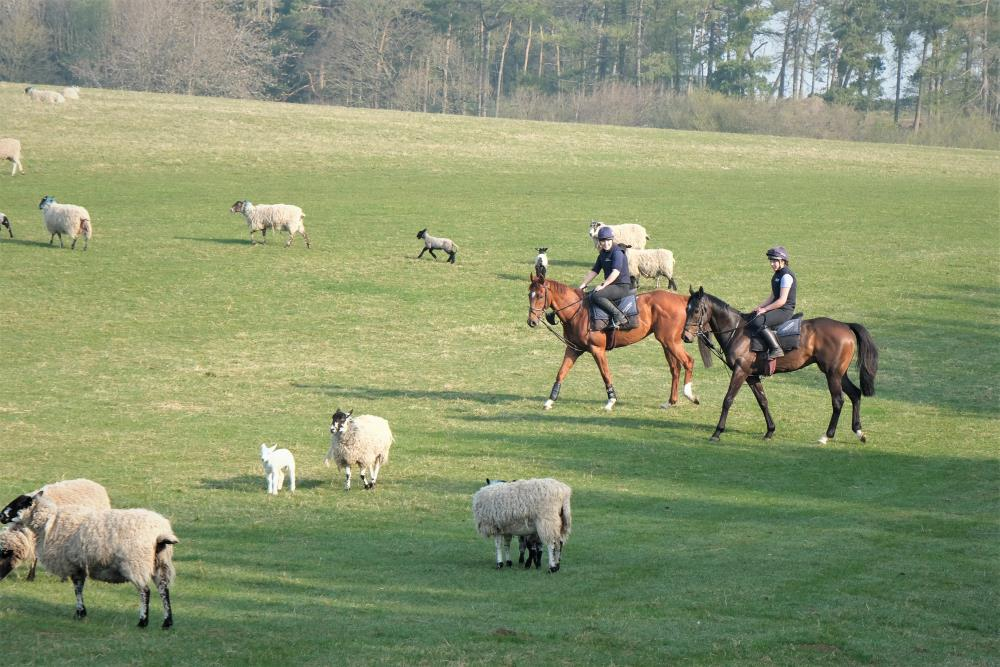 Thursday is our easy day. Rhosneigr and Blazon meeting even more sheep..