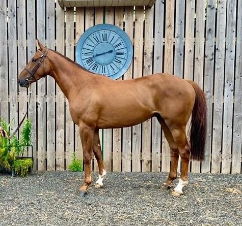 Lot 37 2017 Chestnut Gelding By Norse Dancer (IRE) Out of Aoninch (GB)