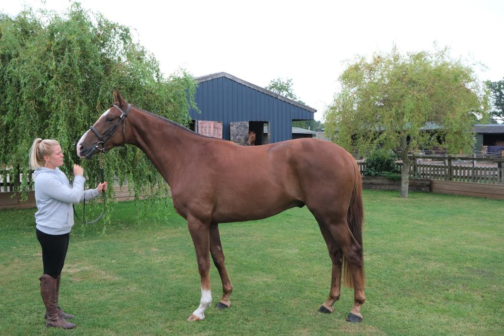 The Sir Percy 3 year old gelding.. For Sale
