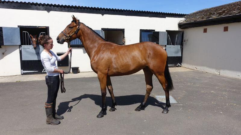 Cinderella Roses two year old filly by Fame and Glory at Hillwood Stud..