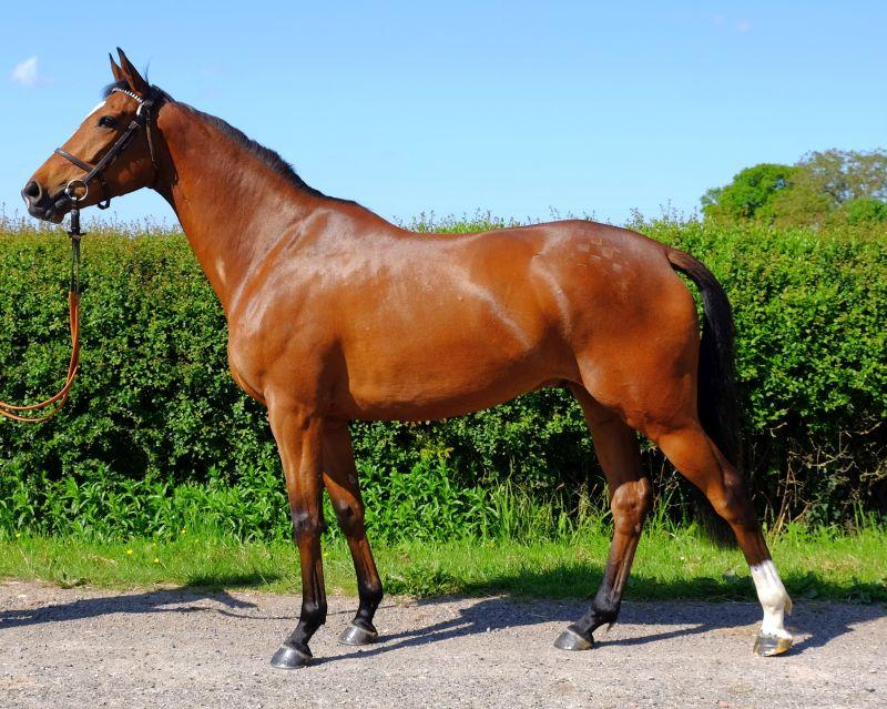 3 year old gelding by Beneficial out of Slaney Athlete.. Full brother to Royal Supremo