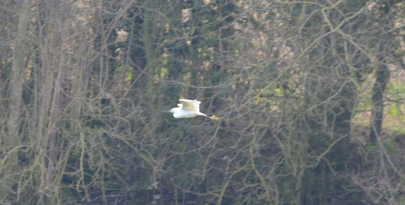 A little Egret was seen flying in our garden yesterday.. while using the BBQ!