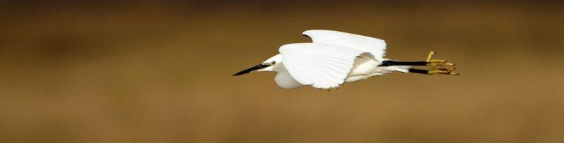 Not my photo sadly but this is what a Little Egret really looks like